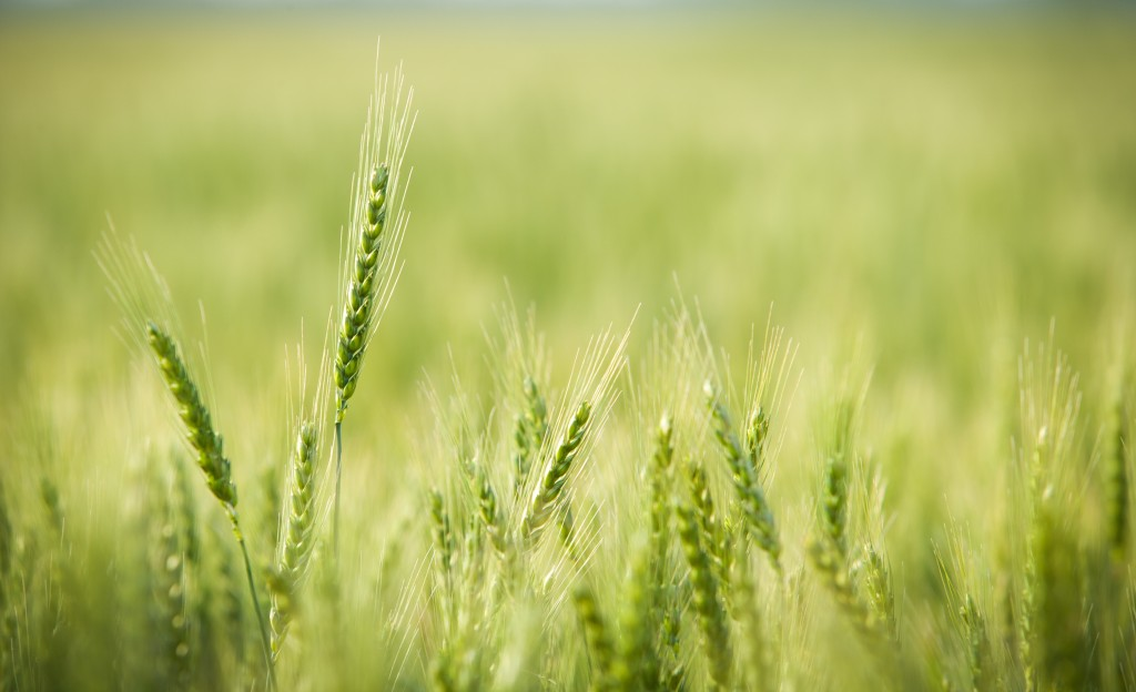Green, Spring, Wheat Field with Soft Selective Focus